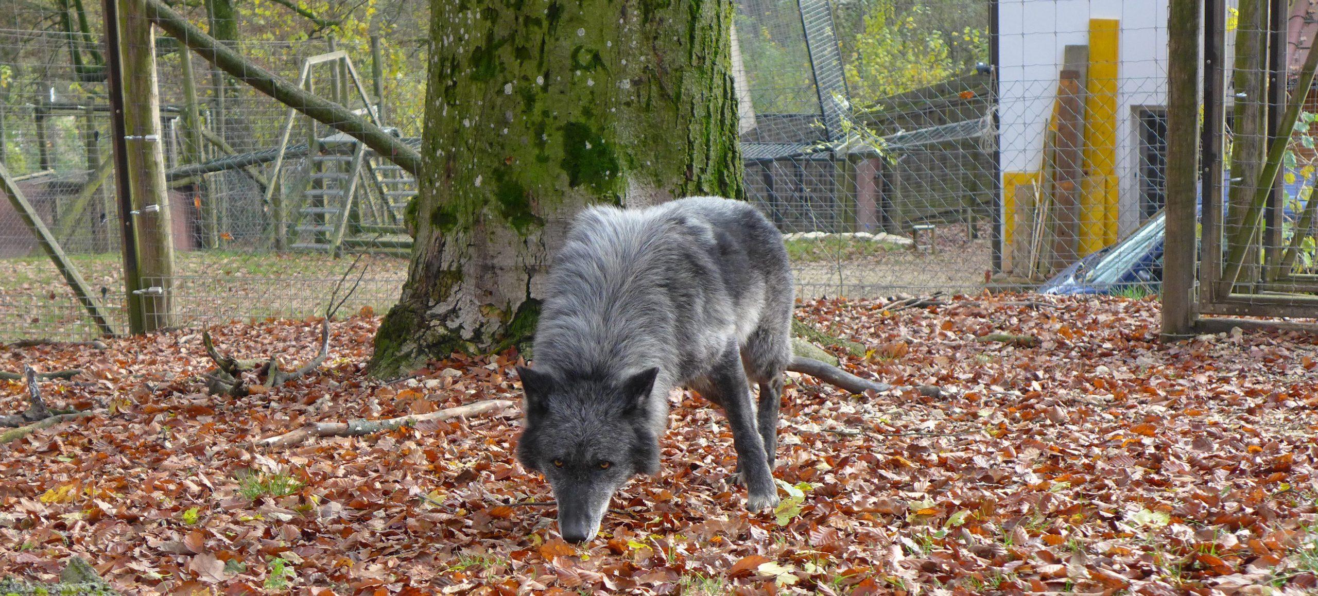 Storybild  wolf-mensch-im-wildpark-ernstbrunn 01